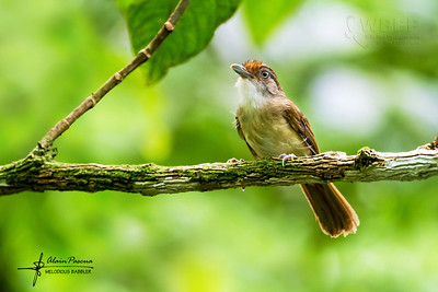 Threatened Birds of the Philippines
